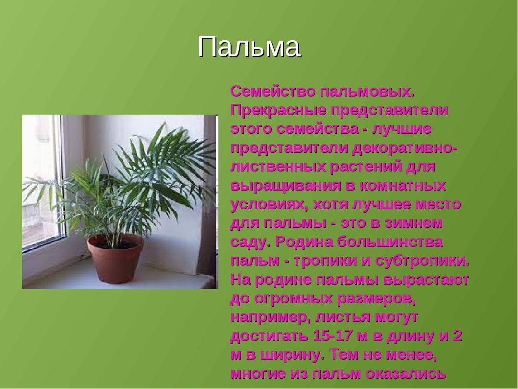 Комнатные цветы семейство пальмовые