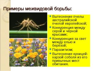 Примеры межвидовой борьбы: Вытеснение пчелы австралийской пчелой европейской;