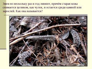 Змеи по нескольку раз в год линяют, причём старая кожа снимается целиком, как