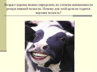 Возраст коровы можно определить по степени изношенности резцов нижней челюсти