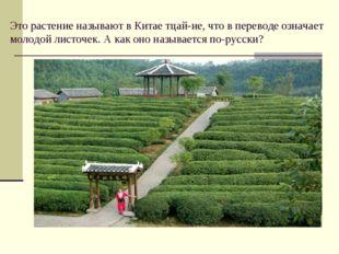 Это растение называют в Китае тцай-ие, что в переводе означает молодой листоч