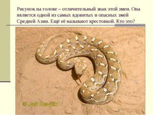 Рисунок на голове – отличительный знак этой змеи. Она является одной из самых