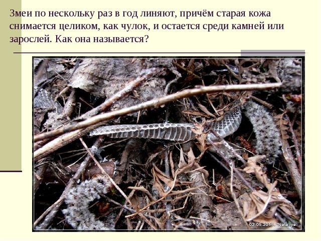 Змеи по нескольку раз в год линяют, причём старая кожа снимается целиком, как...