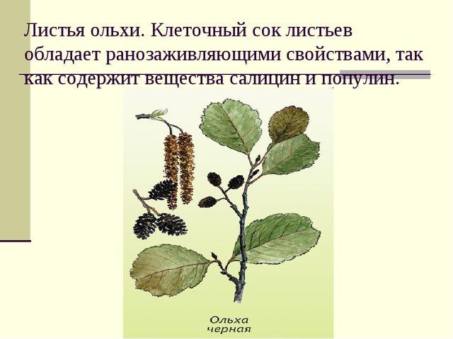 Листья ольхи. Клеточный сок листьев обладает ранозаживляющими свойствами, так...