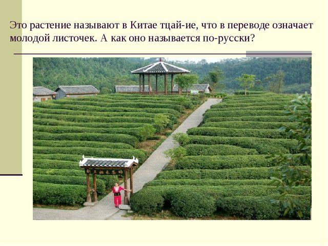 Это растение называют в Китае тцай-ие, что в переводе означает молодой листоч...