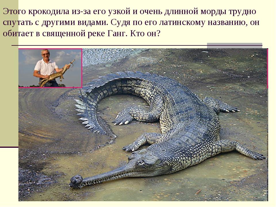 Этого крокодила из-за его узкой и очень длинной морды трудно спутать с другим...