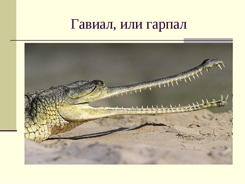 Гавиал, или гарпал