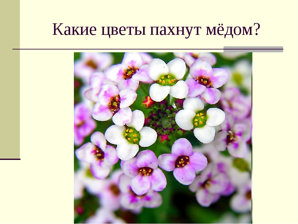 Какие цветы пахнут мёдом?