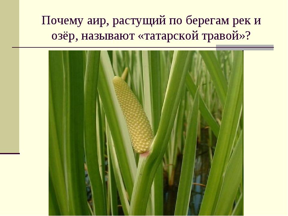 Почему аир, растущий по берегам рек и озёр, называют «татарской травой»?