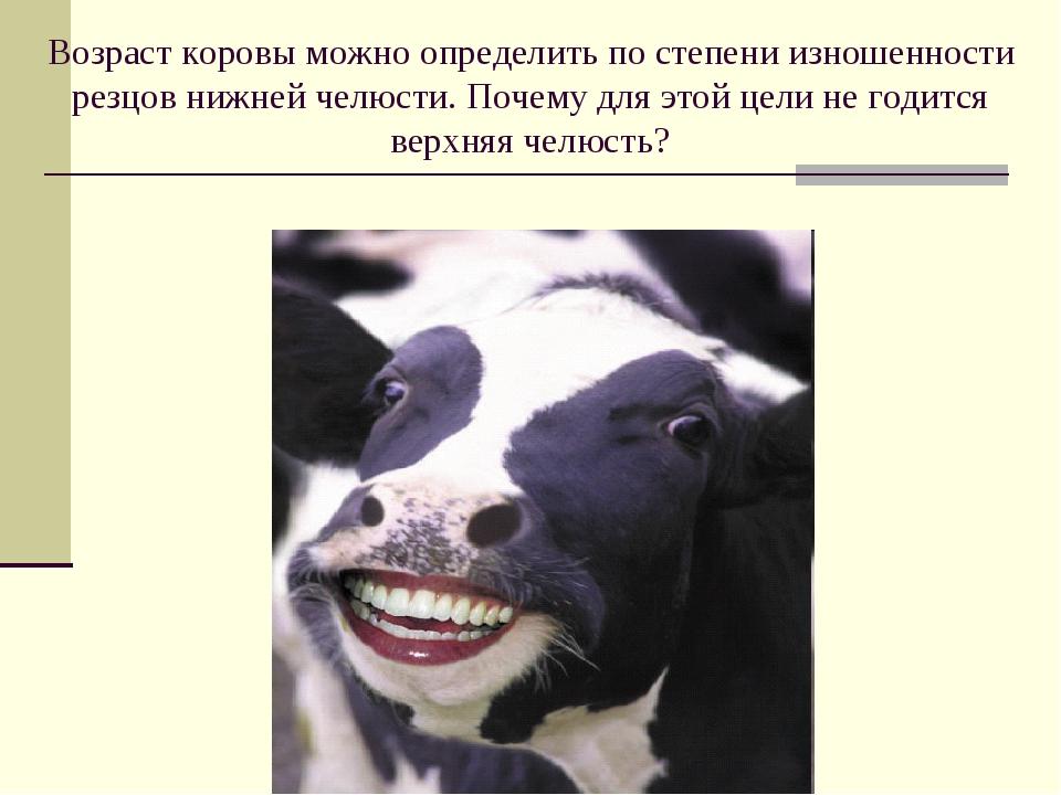 Возраст коровы можно определить по степени изношенности резцов нижней челюсти...