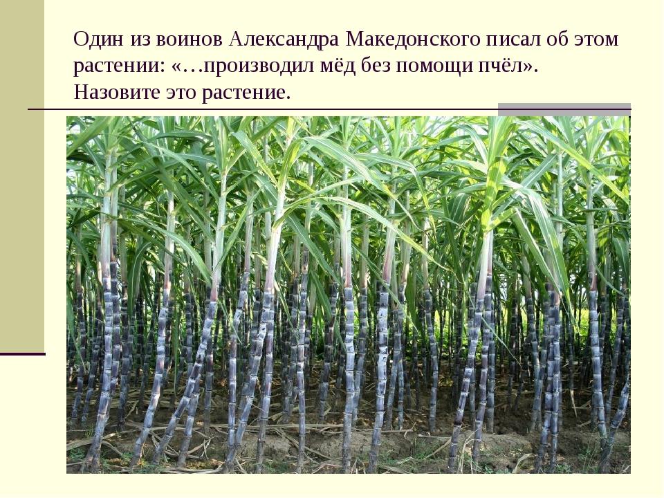 Один из воинов Александра Македонского писал об этом растении: «…производил м...