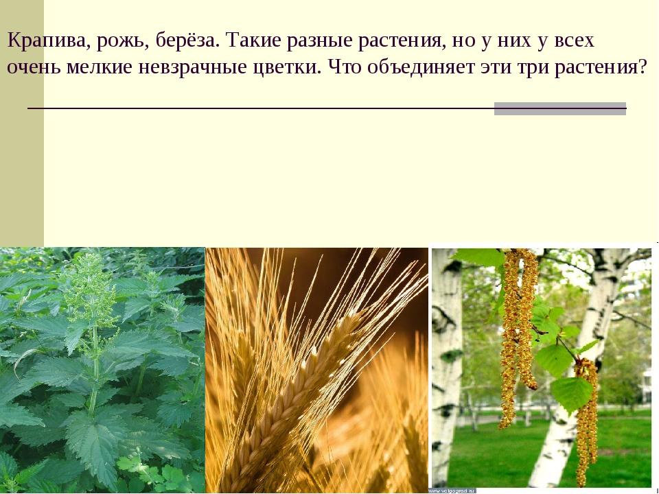 Крапива, рожь, берёза. Такие разные растения, но у них у всех очень мелкие не...