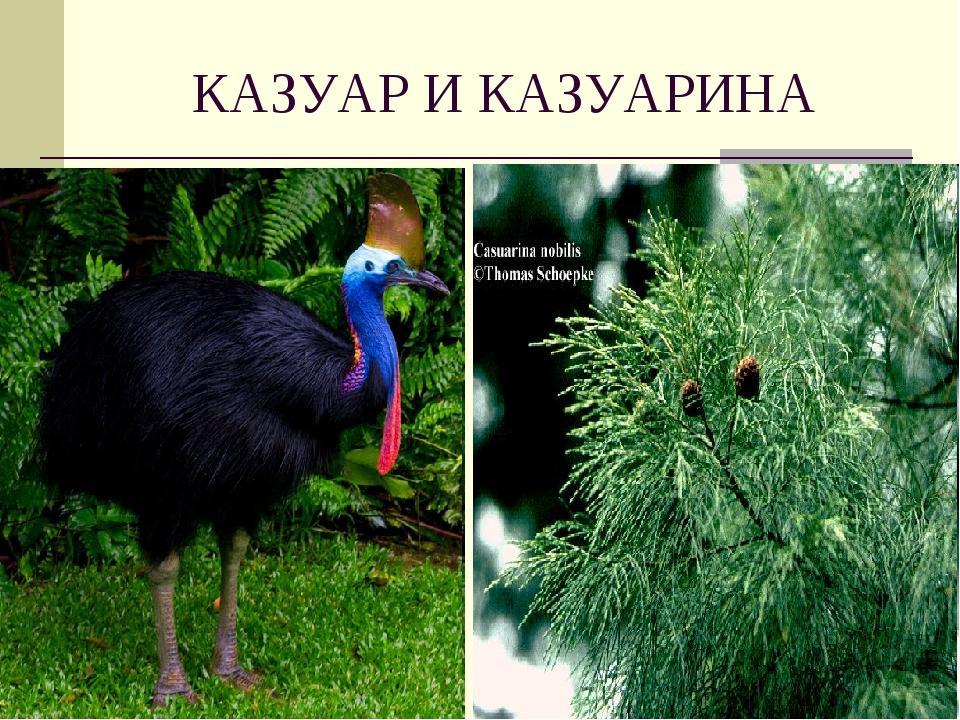 КАЗУАР И КАЗУАРИНА