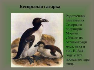 Бескрылая гагарка Родственник пингвина из Северного полушария. Моряки убивали