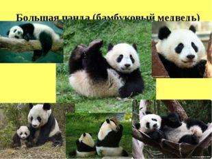 Большая панда(бамбуковый медведь)