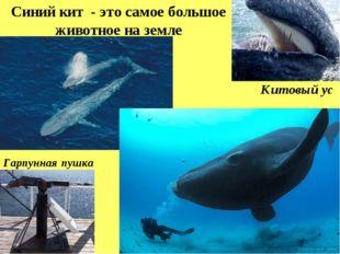 Синий кит - это самое большое животное на земле Китовый ус Гарпунная пушка