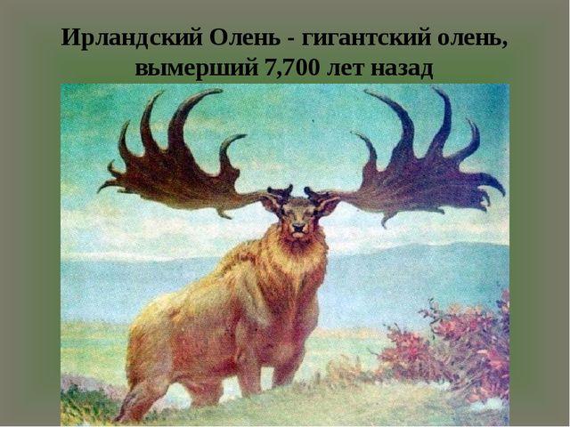 Ирландский Олень - гигантский олень, вымерший 7,700 лет назад