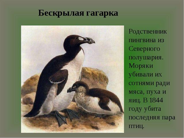 Бескрылая гагарка Родственник пингвина из Северного полушария. Моряки убивали...