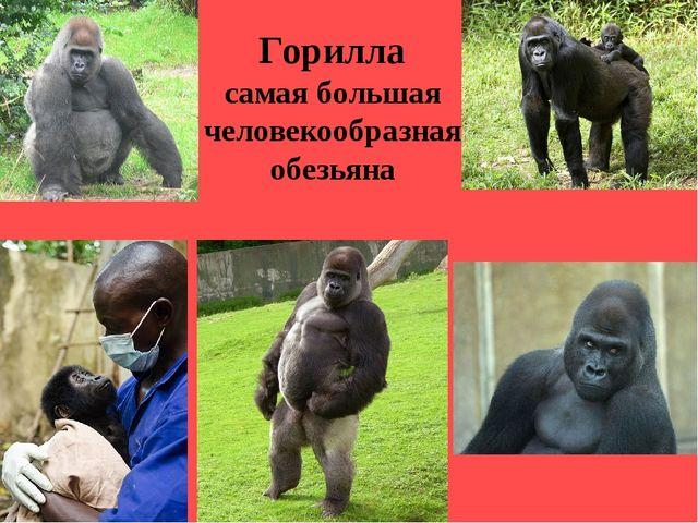 Горилла самая большая человекообразная обезьяна