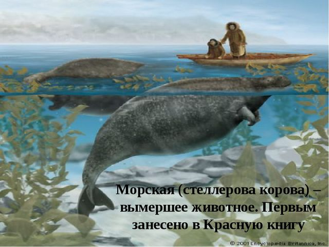 Морская (стеллерова корова) – вымершее животное. Первым занесено в Красную кн...