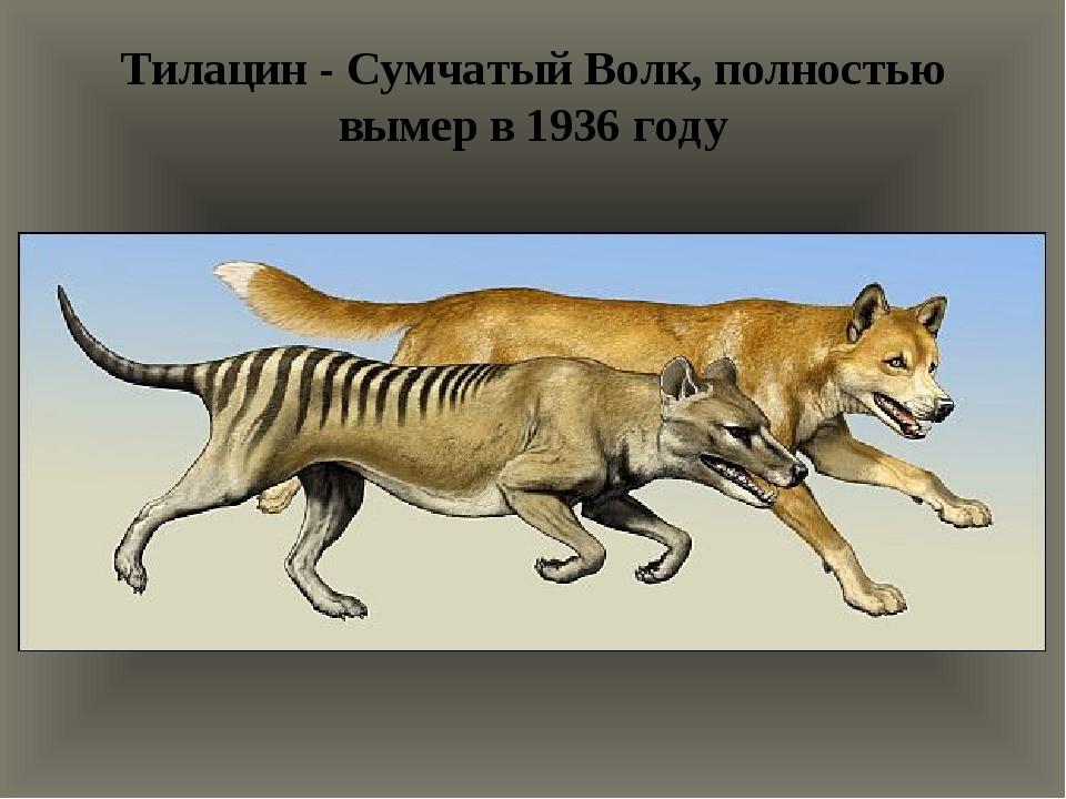 Тилацин - Сумчатый Волк, полностью вымер в 1936 году