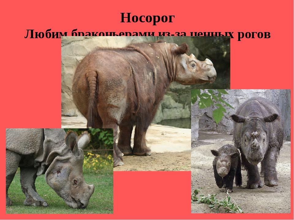 Носорог Любим браконьерами из-за ценных рогов