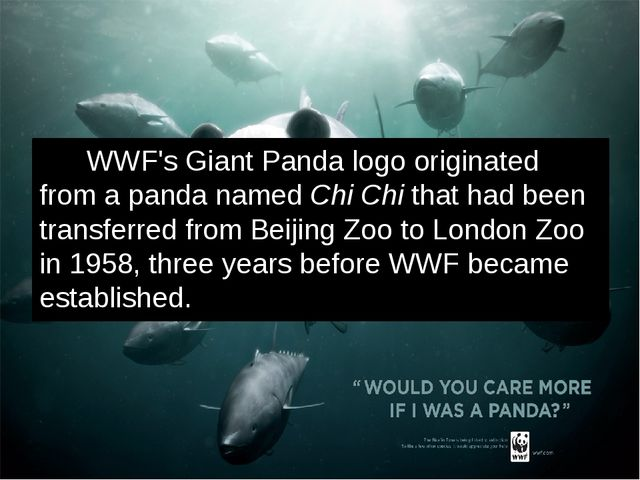 WWF's Giant Panda logo originated from a panda named Chi Chi that had been t...