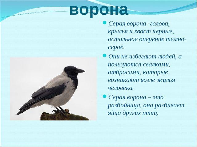 ворона Серая ворона -голова, крылья и хвост черные, остальное оперение темно-...