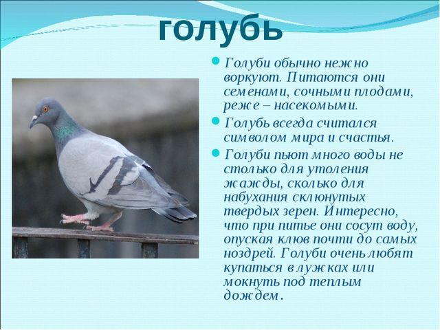 голубь Голуби обычно нежно воркуют. Питаются они семенами, сочными плодами, р...