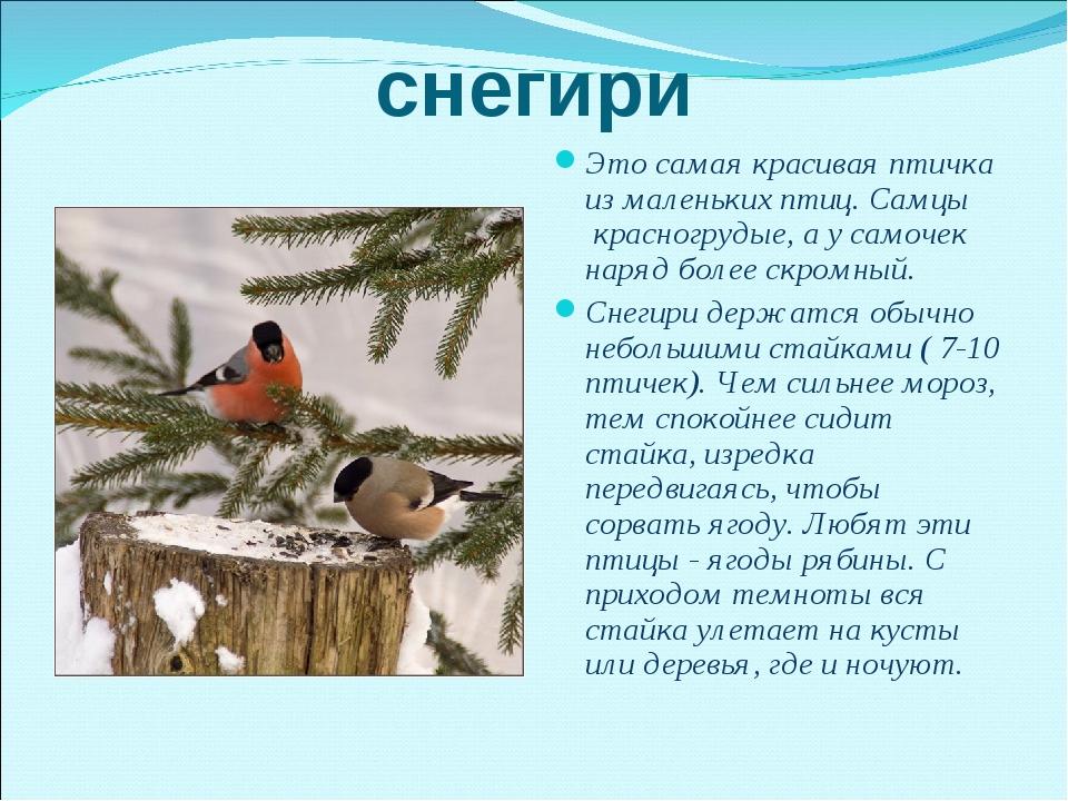 снегири Это самая красивая птичка из маленьких птиц. Самцы красногрудые, а у...