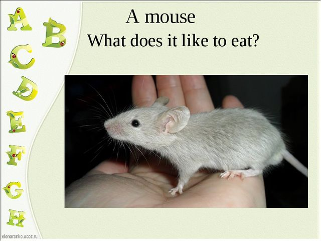 A mouse What does it like to eat?