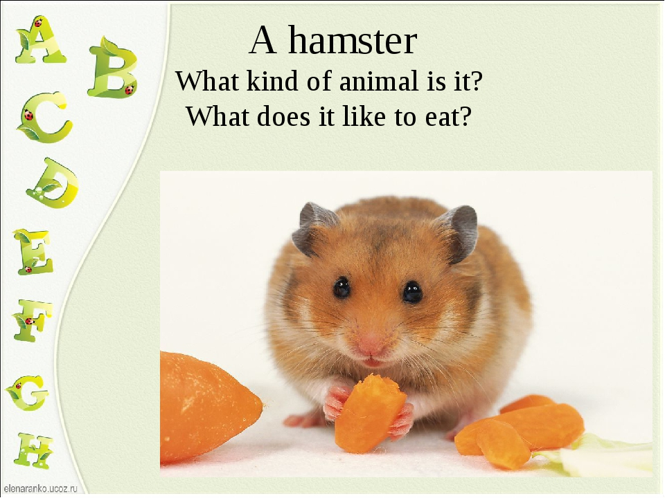 A hamster What kind of animal is it? What does it like to eat?