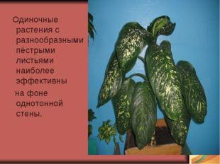 Одиночные растения с разнообразными пёстрыми листьями наиболее эффективны на