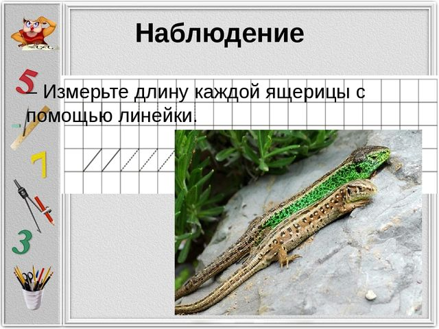 Наблюдение – Измерьте длину каждой ящерицы с помощью линейки.
