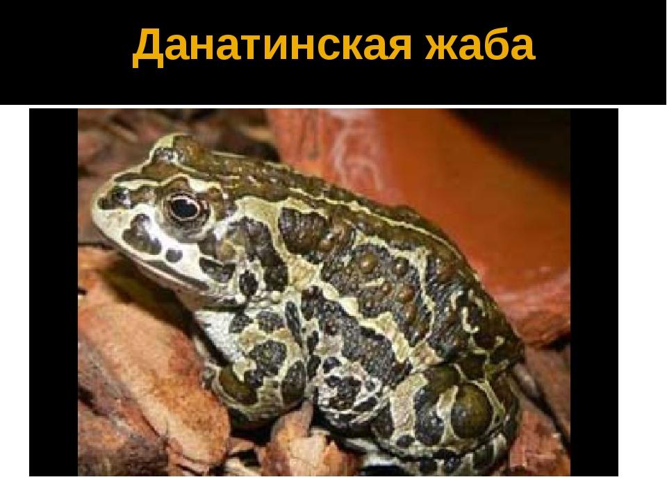 Данатинская жаба