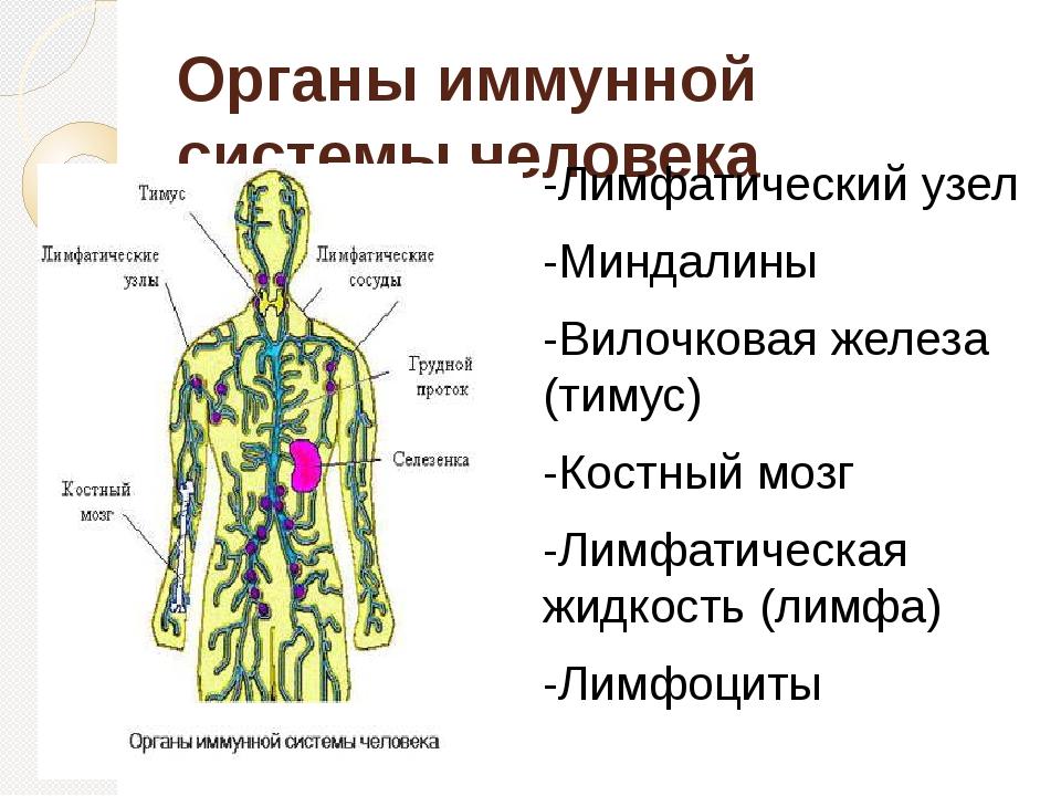 Органы иммунной системы человека -Лимфатический узел -Миндалины -Вилочковая ж...