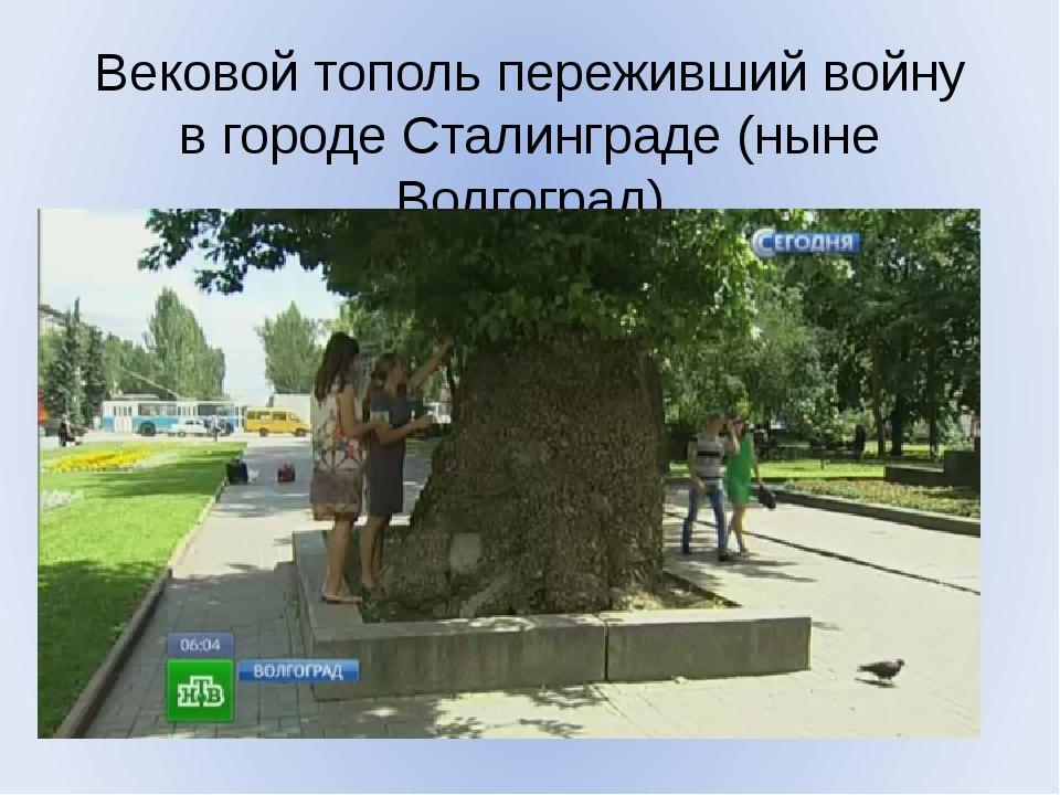 Вековой тополь переживший войну в городе Сталинграде (ныне Волгоград)