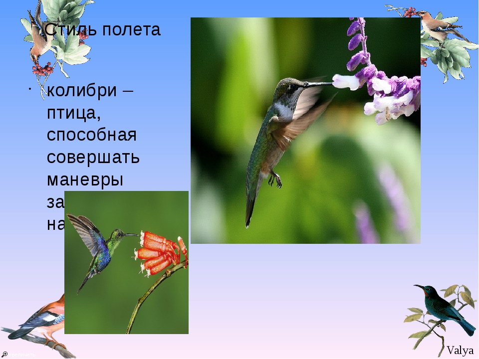 Стиль полета колибри – птица, способная совершать маневры задом наперед. Valya