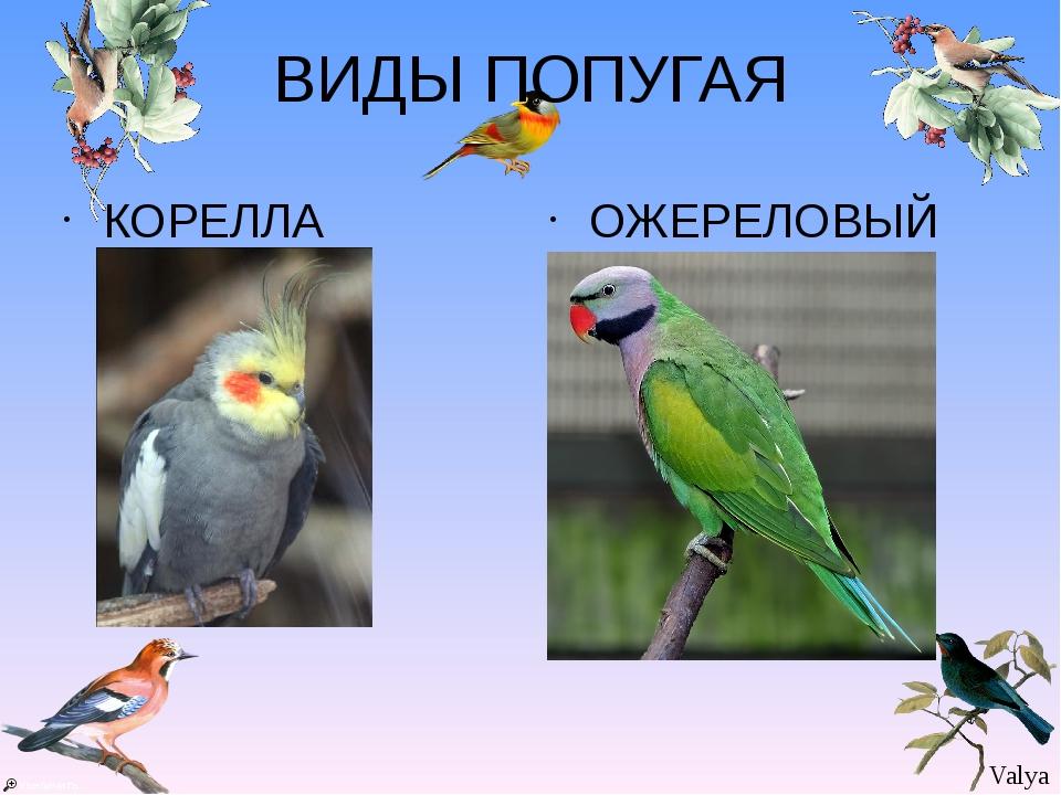 ВИДЫ ПОПУГАЯ КОРЕЛЛА ОЖЕРЕЛОВЫЙ Valya