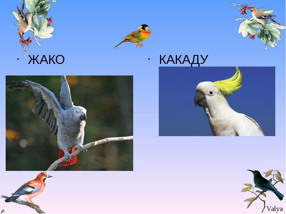 ЖАКО КАКАДУ Valya