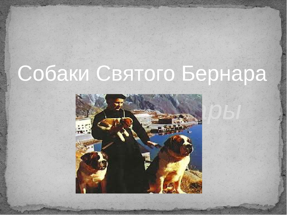 Собаки Святого Бернара сенбернары