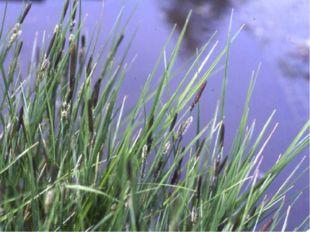 А эта растёт на лугу у болота. О С   А