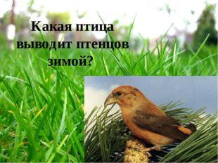 Какая птица выводит птенцов зимой?