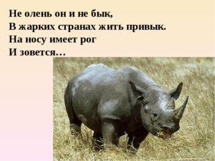 Не олень он и не бык, В жарких странах жить привык. На носу имеет рог И зовет