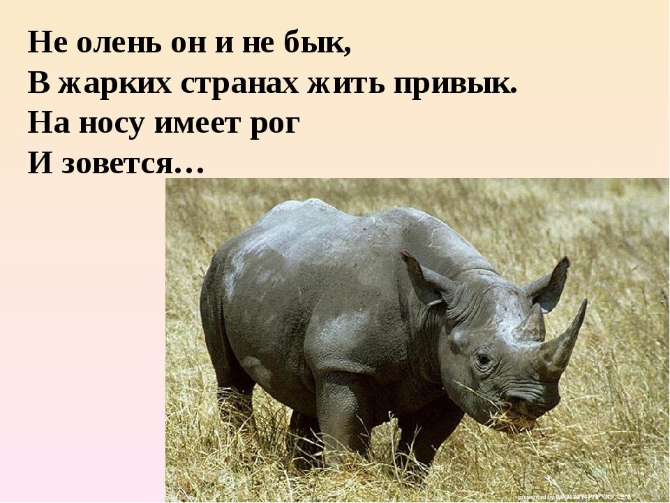 Не олень он и не бык, В жарких странах жить привык. На носу имеет рог И зовет...