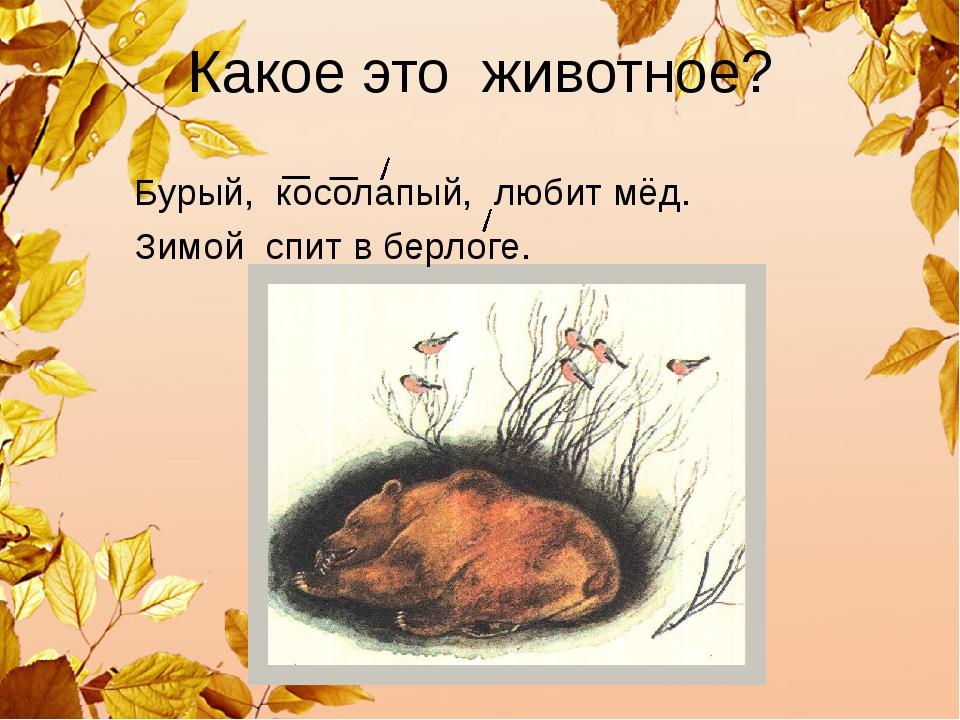 Какое это животное? Бурый, косолапый, любит мёд. Зимойспитвберлоге.