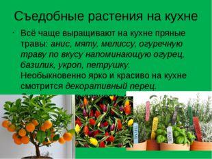 Съедобные растения на кухне Всё чаще выращивают на кухне пряные травы:анис,