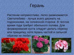 Герань Растение неприхотливо, легко размножается. Светолюбиво - лучше всего д