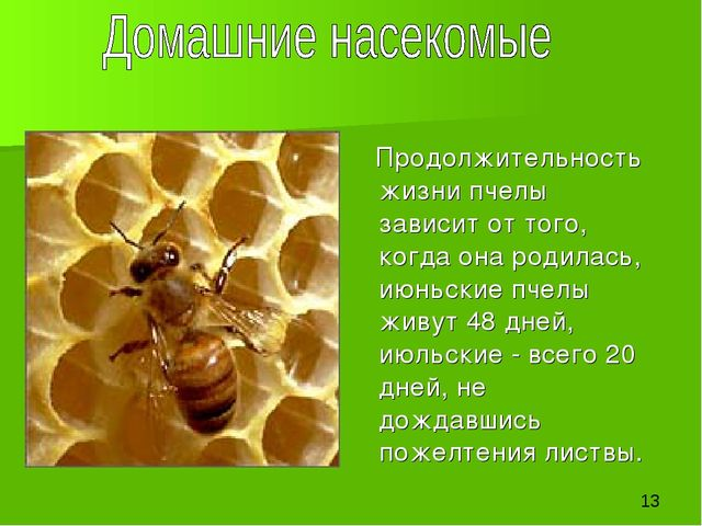 Продолжительность жизни пчелы зависит от того, когда она родилась, июньские...