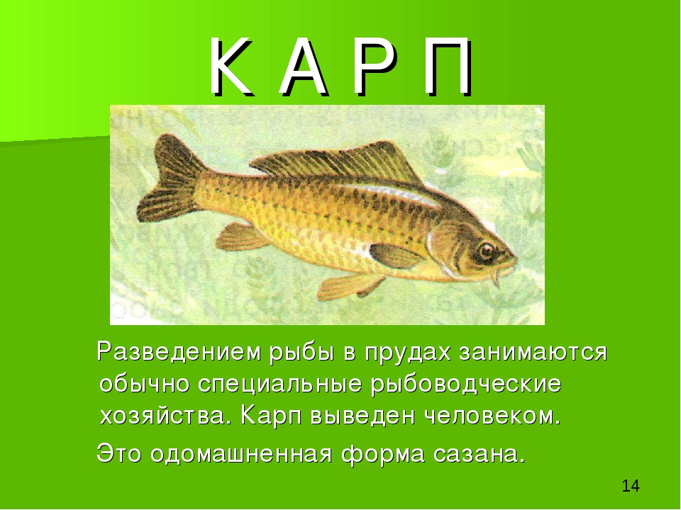 К А Р П Разведением рыбы в прудах занимаются обычно специальные рыбоводческие...
